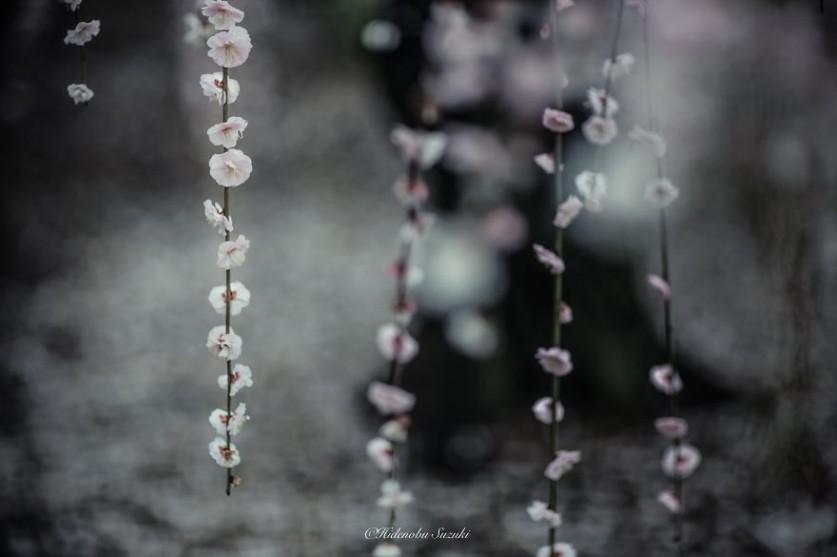 Волшебная японская весна в работах Хиденобу Сузуки (Hidenobu Suzuki)