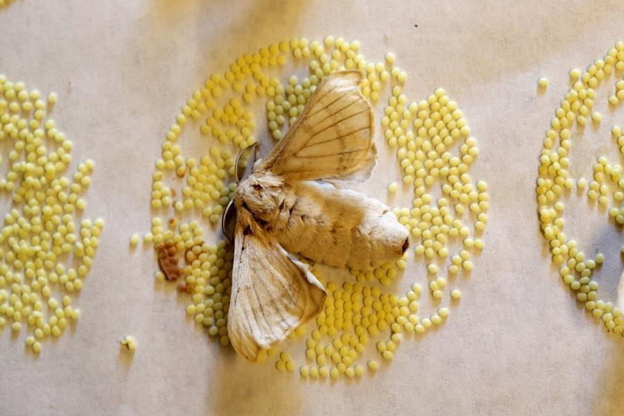 8. Тутовый шелкопряд и яйца, отложенные бабочкой. (Фото Alessandro Bianchi | Reuters)