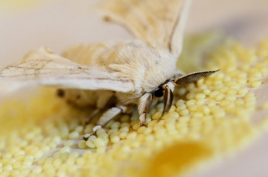 11. Тутовый шелкопряд и яйца, отложенные бабочкой. (Фото Alessandro Bianchi | Reuters) После этого н