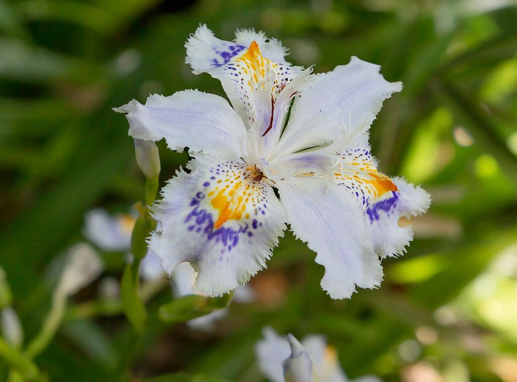 Цветок Ирис японский мечевидный