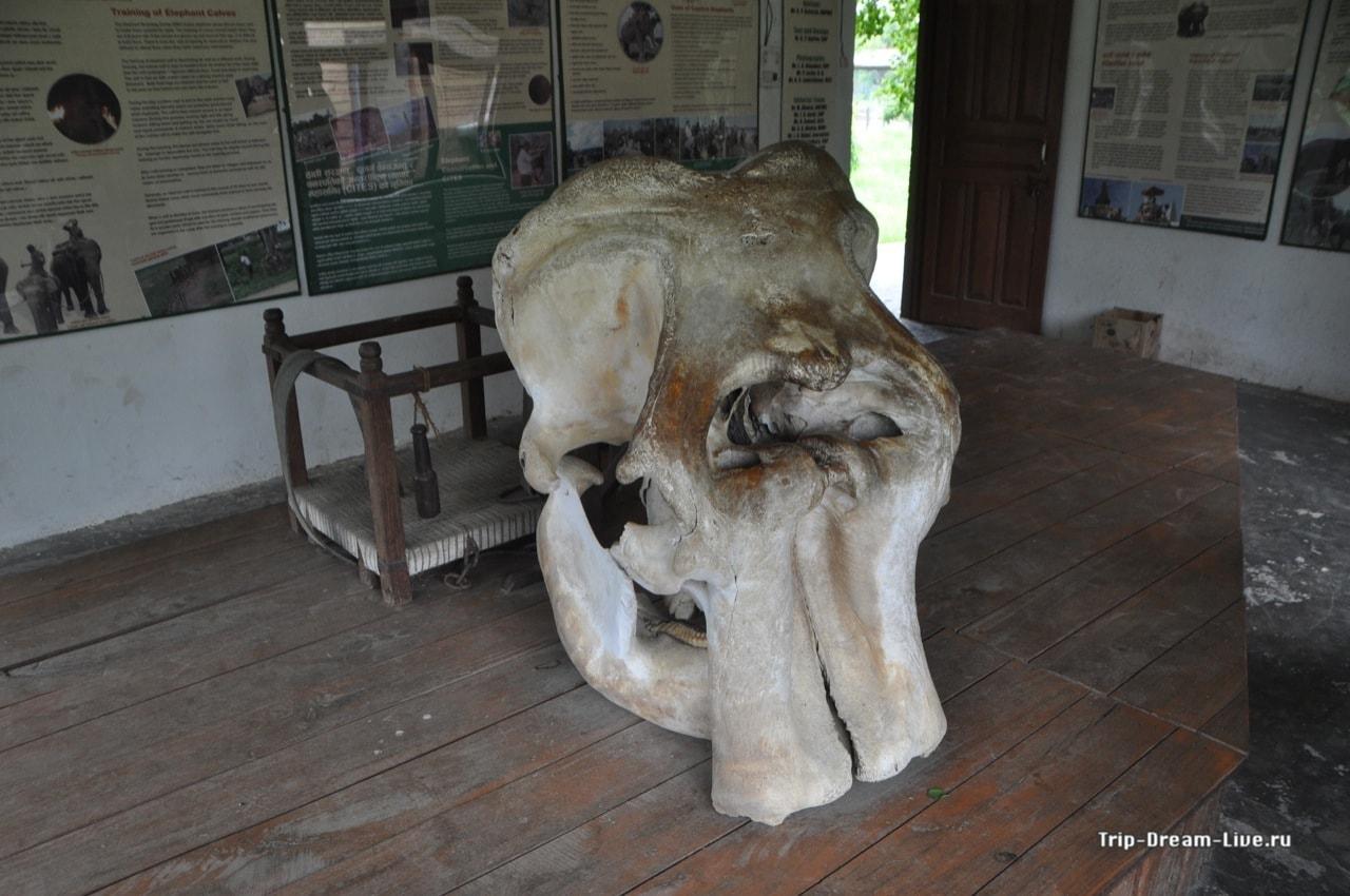 Череп слона в музее при Центре разведения слонов