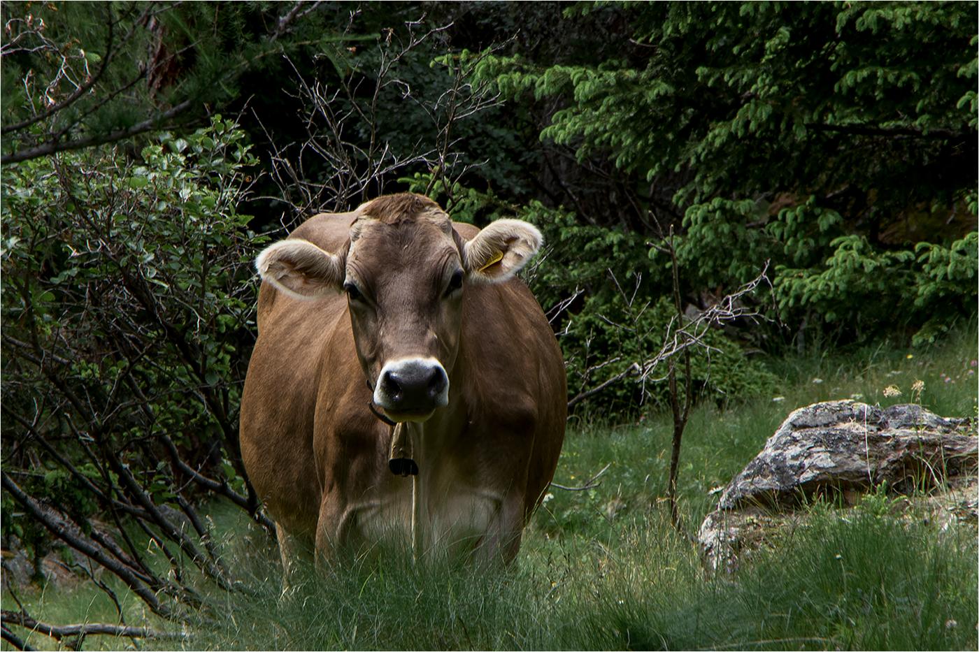 Коровы / фото Paola Bottoni