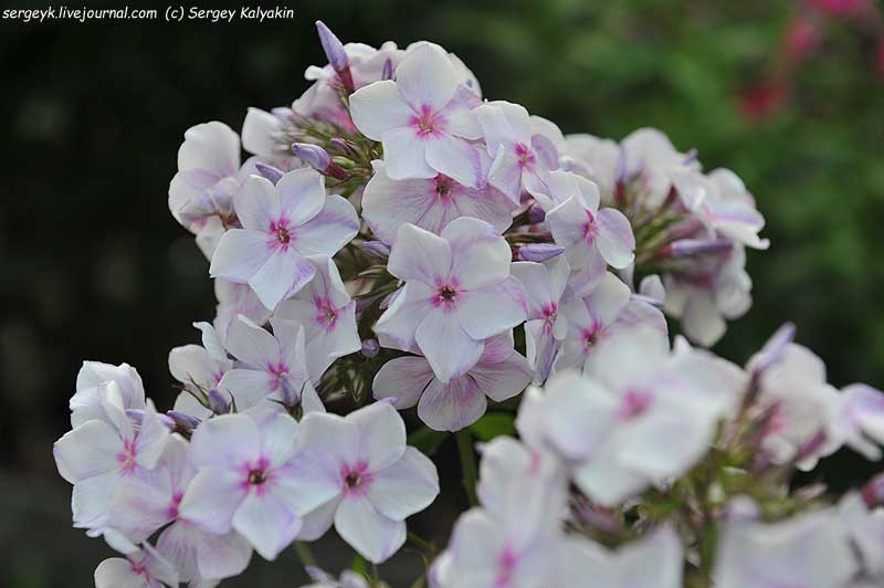 Phlox paniculata Sedaya Neva (4).JPG
