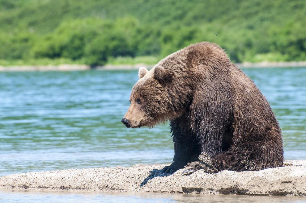 5. Хотите знать, зачем медведи встают на задние лапы ? Читайте по ссылке.