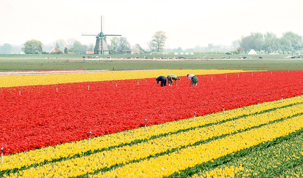 3. Мельницы и тюльпаны Это действительно красиво! Мельницы с начала своего существования притягивают
