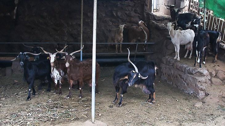 В восемь часов утра всех 40 коз доят. Для этого их выгоняют из загона в это помещение. Делается это