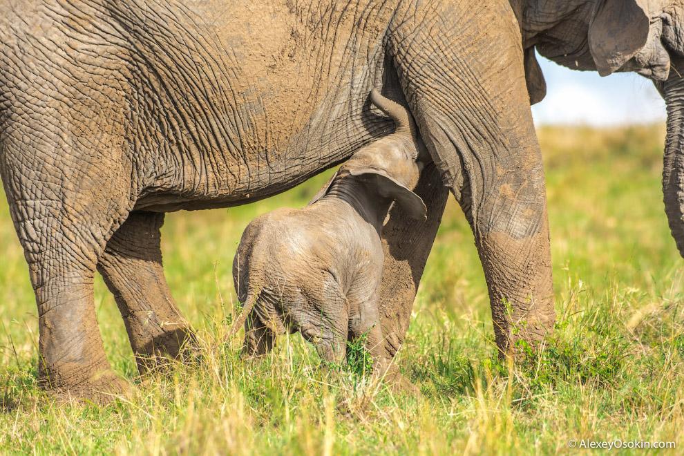 В отличие от индийских и лесных африканских слонов, африканский саванный слон абсолютно не подд