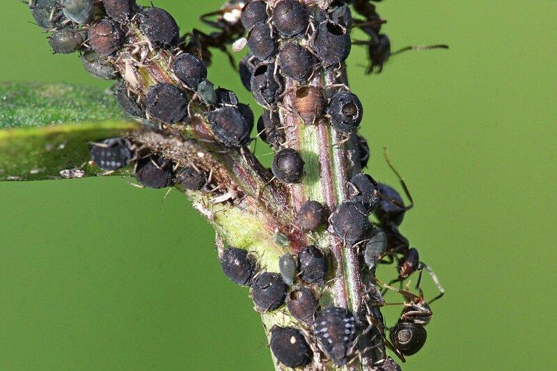 Муравьиная ферма на стебле растения: муравьи выращивают и доят тлю, а наездники откладывают в тле яйца, из-за чего она погибает. Видны дырки в теле тли, откуда вышли наездники