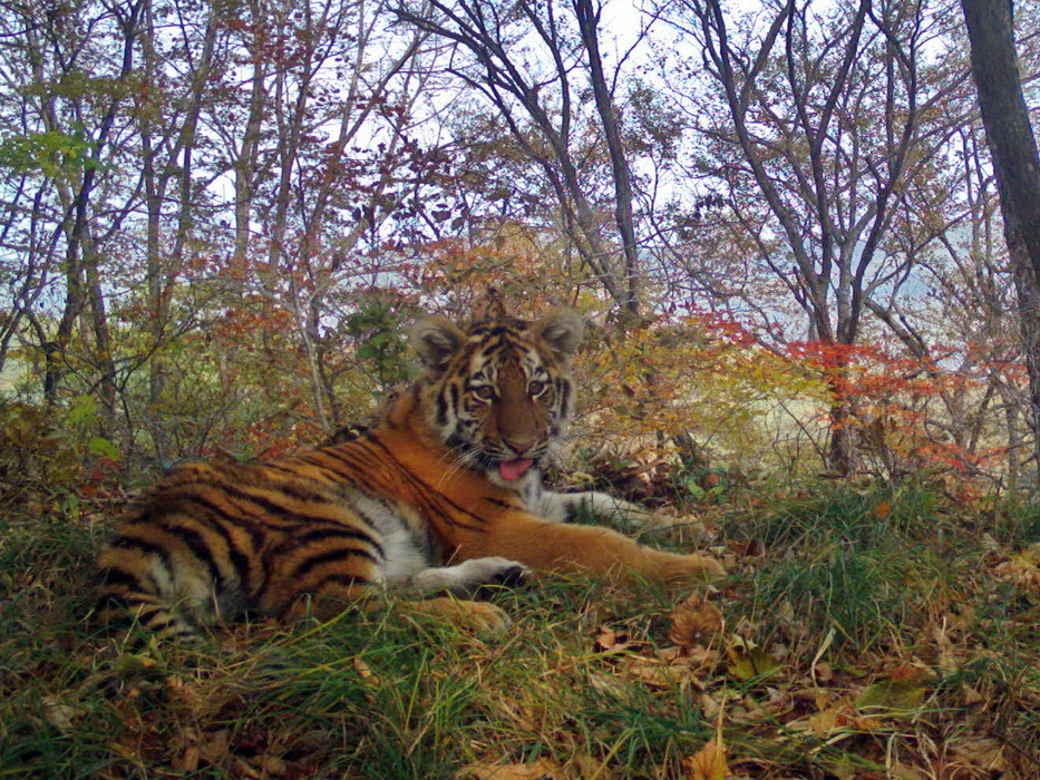 """В национальном парке """"Земля леопарда"""" фотоловушка засняла тигрицу с тигрятами"""