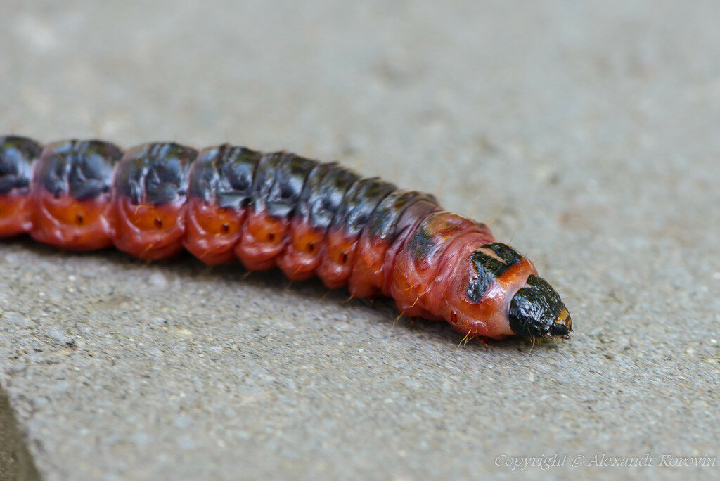 против, жук древоточец личинка фото сложности экспедиции