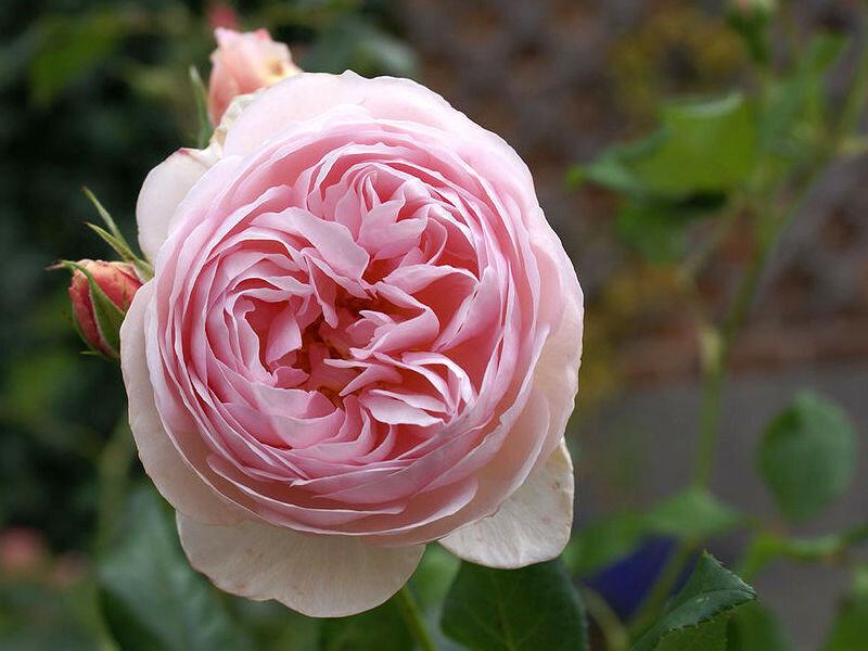 velkokveta-ruze-heritage-david-austin.jpg