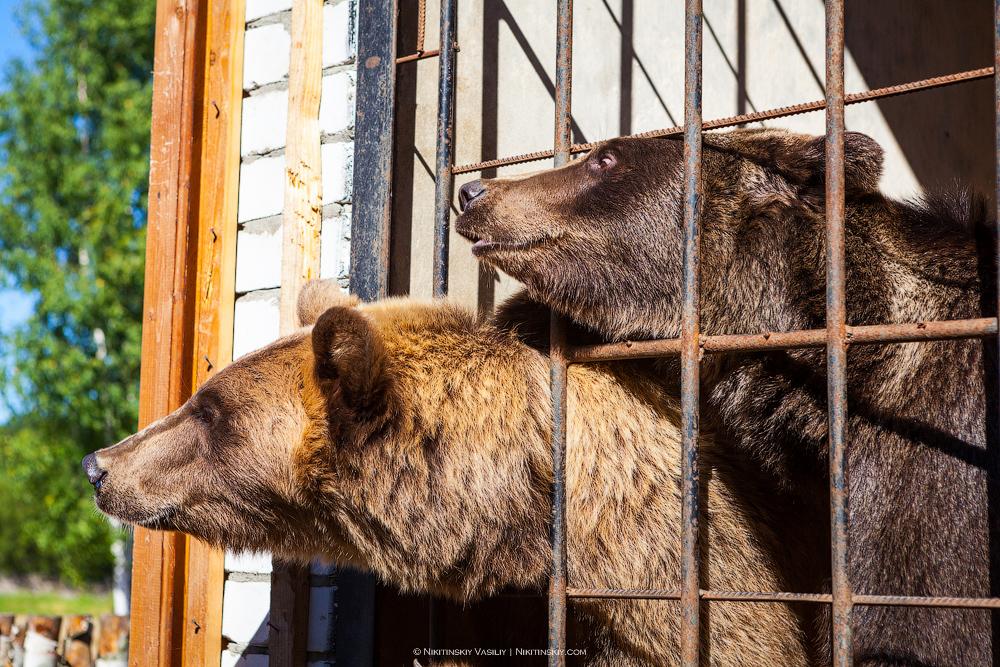Во Владимир прорывались медведи