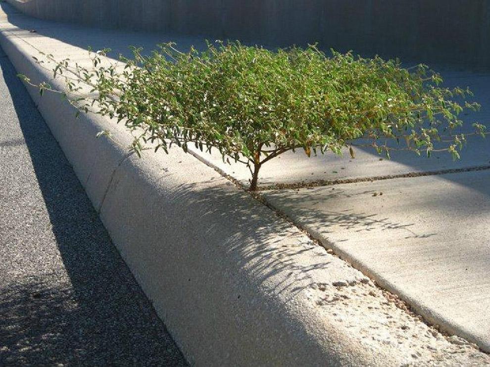4. Корни дерева над тротуаром:
