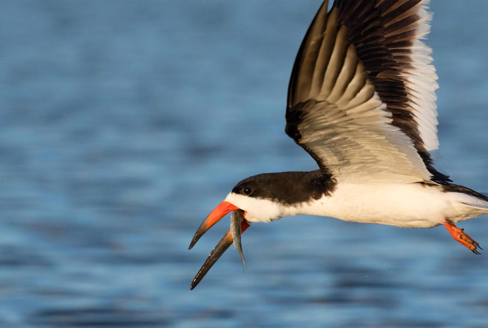 11. Североамериканская совка. Для охраны своей добычи они прибегают к услугам другого хищника: