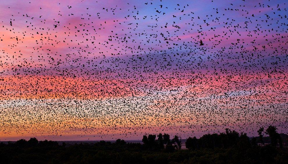 Во время полета летучие мыши поют песни, используя сложные сочетания слогов, на высоких частота