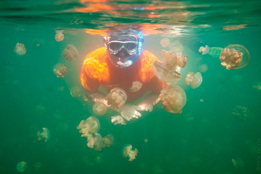 Для человека эти медузы неопасны. Из-за своей обособленной жизни и отсутствия врагов они полнос