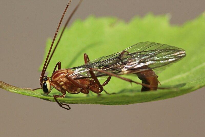 Наездник офион жёлтый  (Ophion luteus) с рыжим телом, длинными ногами, брюшком на стебельке, перепончатыми крыльями, двумя большими глазами и тремя простыми глазками на темечке отдыхает на листочке