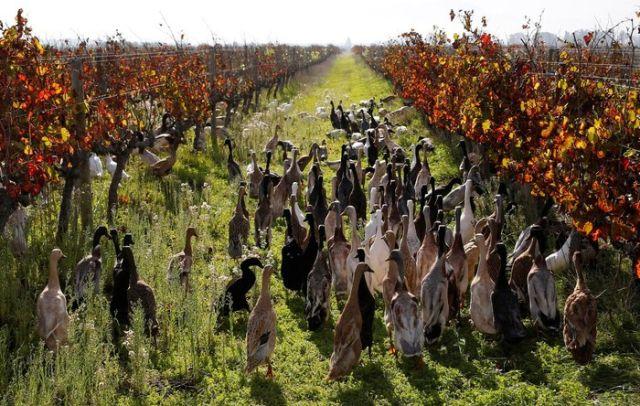 На ферме в ЮАР для борьбы с вредителями стали использовать уток
