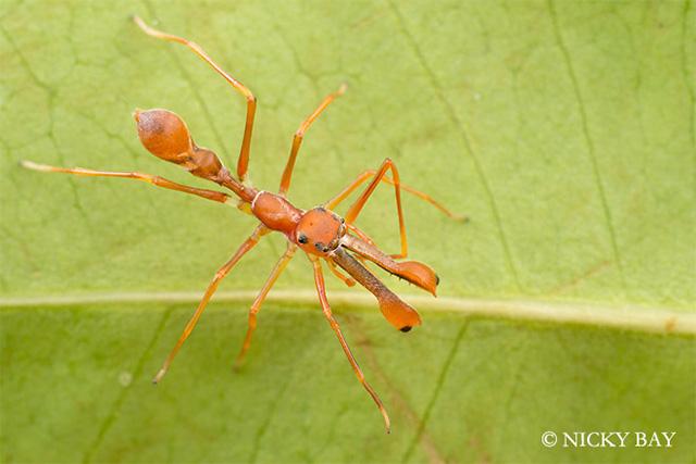 Ant Mimic Jumping Spider / Myrmarachne plataleoides / Singapore