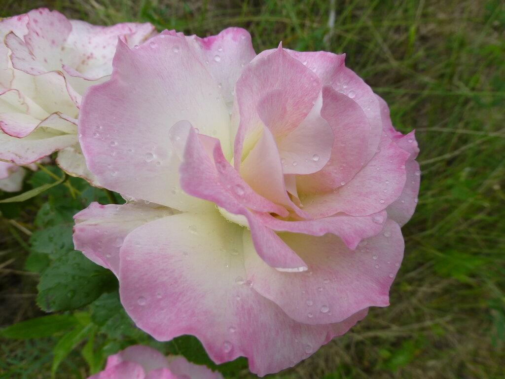 Розы с яйцами и прочие дачные радости L1280017.JPG