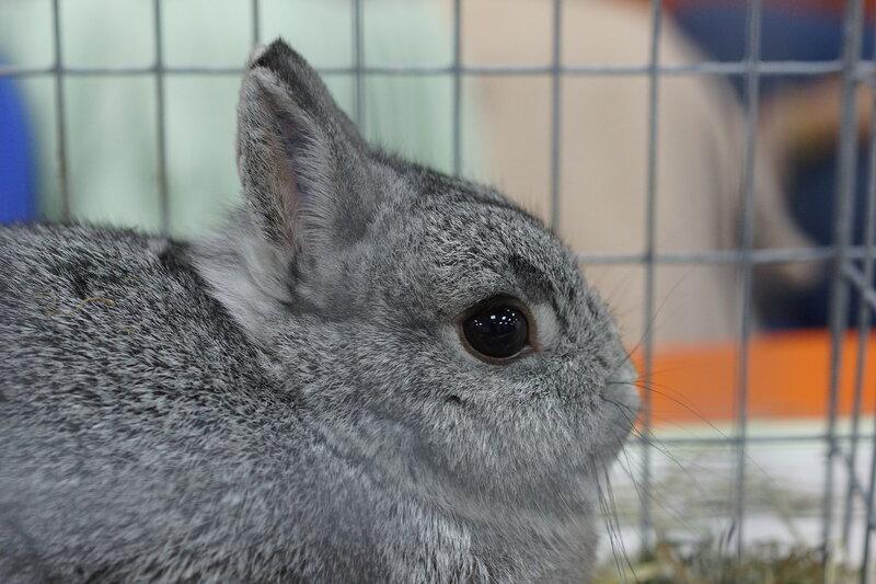 Кролик карликовый декоративный