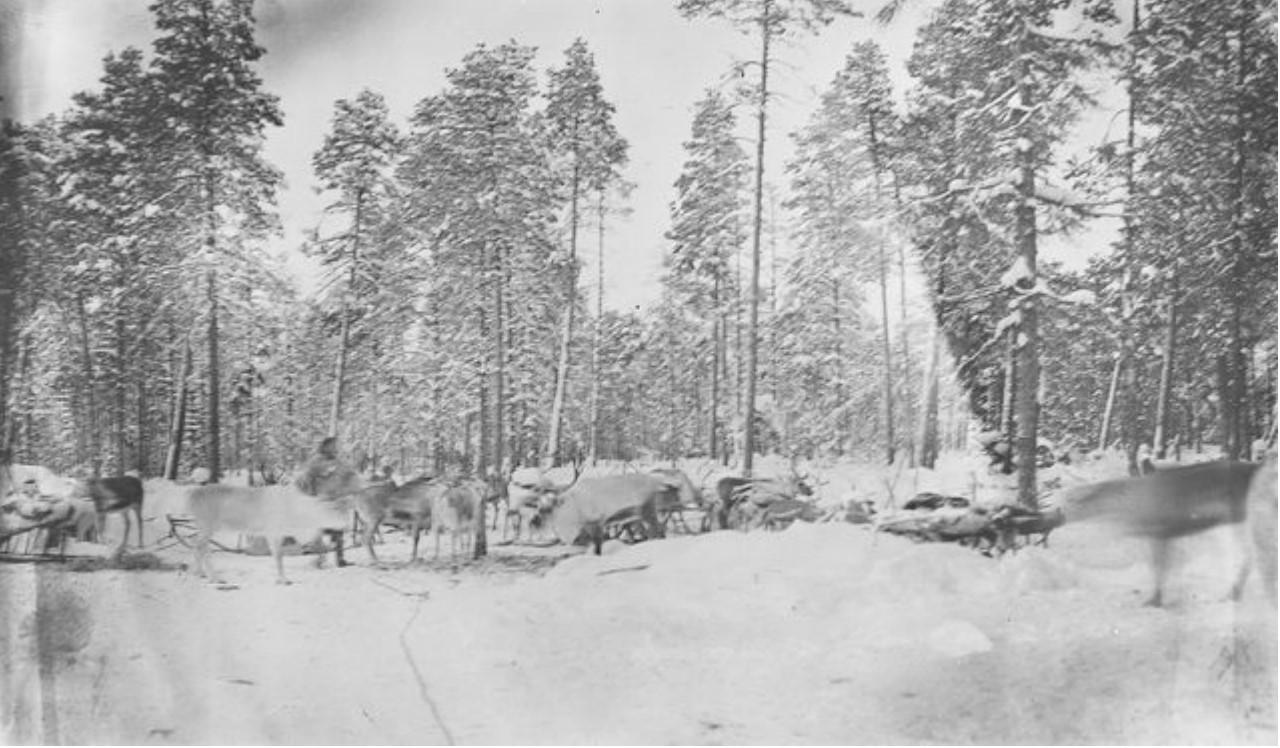 108. Самоеды с оленями в лесу возле хижины Петра