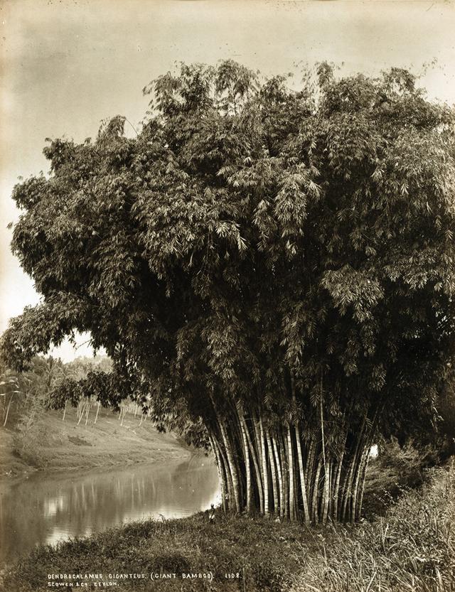 Редчайшие снимки повседневной жизни Шри-Ланки в 1880-х годах