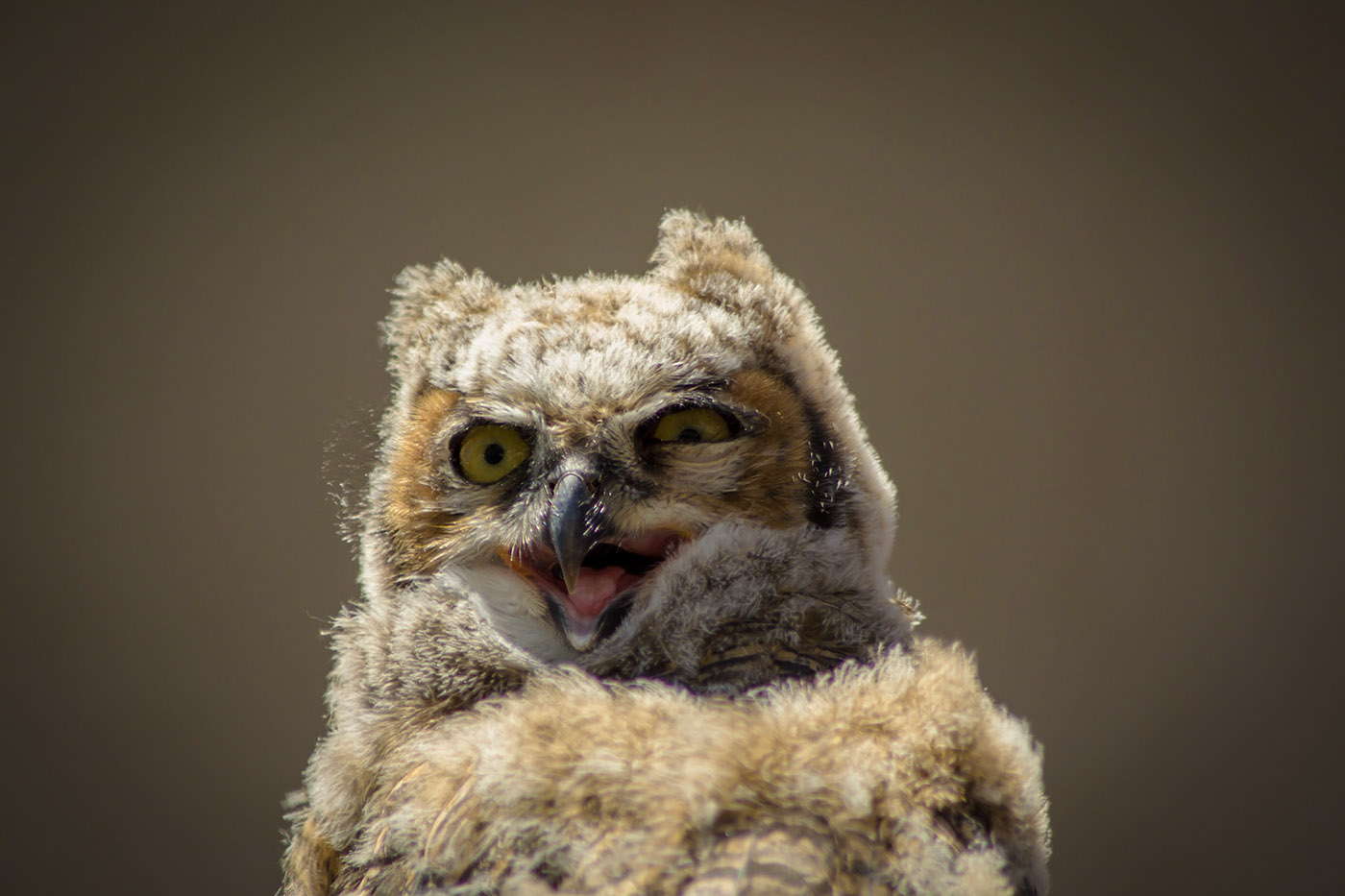 Young Great Horned Owl / фото Cynthia Parks