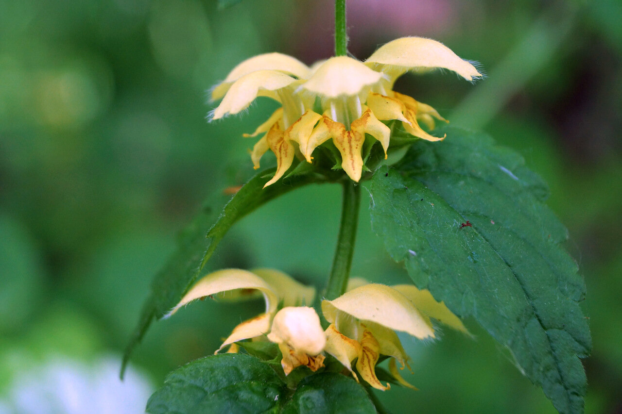 Зеленчук желтый (Galeobdolon luteum). Автор фото: Привалова Марина