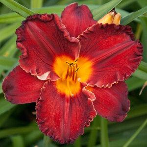 Лилейники в Саду Дракона летом 2011г 0_63788_482c1fd2_M