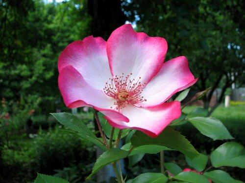 Роза Pretty @ Kiss 03.JPG