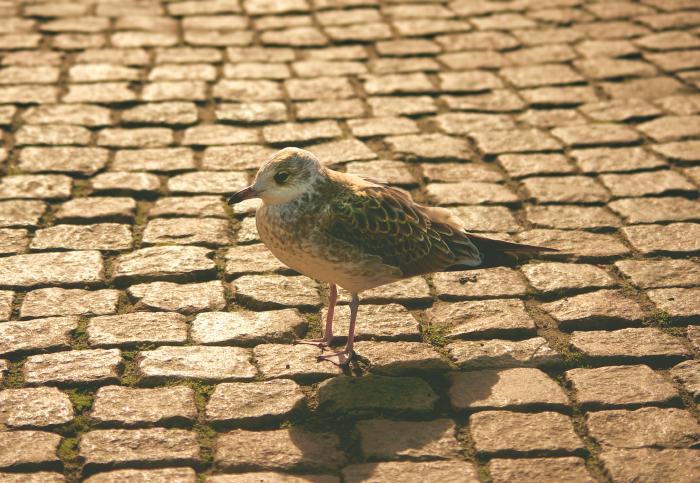 чайка на брусчатке площади