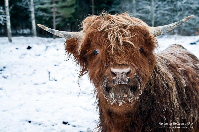 Швеция, коровы, животные, природа