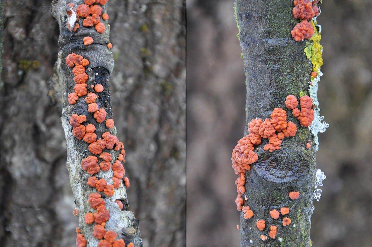 Пениофора красная (Peniophora rufa) Автор фото: Владимир Брюхов