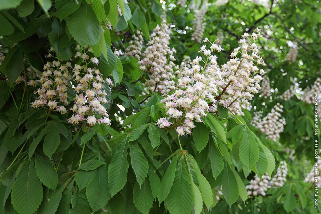В Ростове-на-Дону цветут каштаны