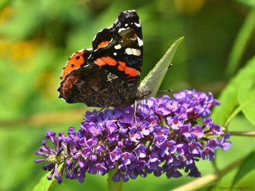 Бабочка Адмирал на буддлее Давида.