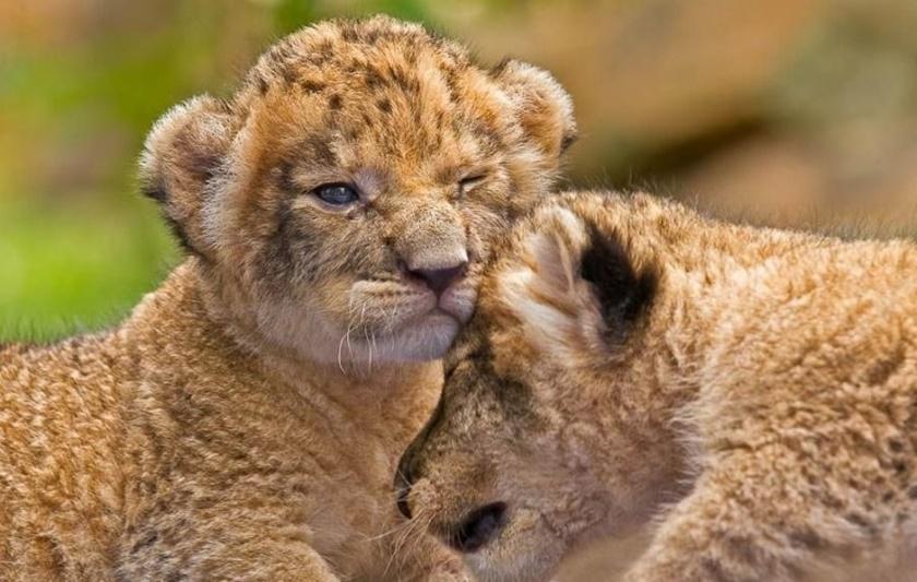 Детеныши львов и леопардов 0 14231e ec788752 orig