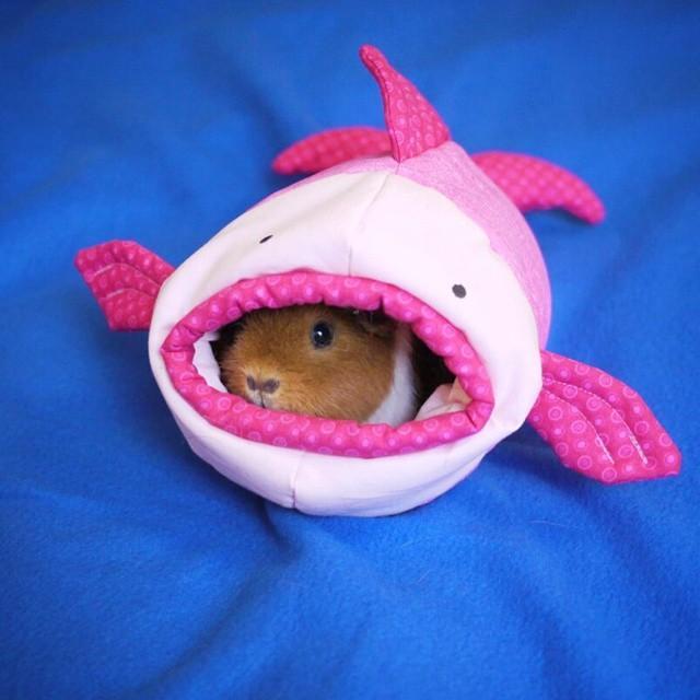 13. Морская свинка в симпатичном костюме акулы.
