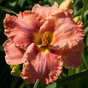 Лилейники в Саду Дракона летом 2011г 0_636ab_c7a2f5b6_M