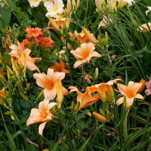 Лилейники в Саду Дракона летом 2011г 0_6375b_453ca1ff_M