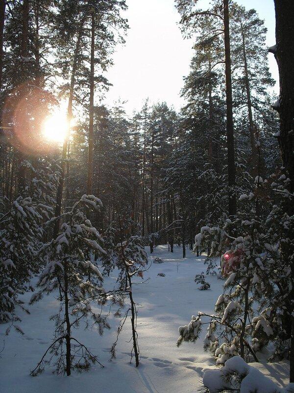 сосновый лес зимой фото