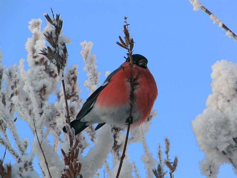 Летят на снег кожурки мелкой стружкой - На ветках снегири.