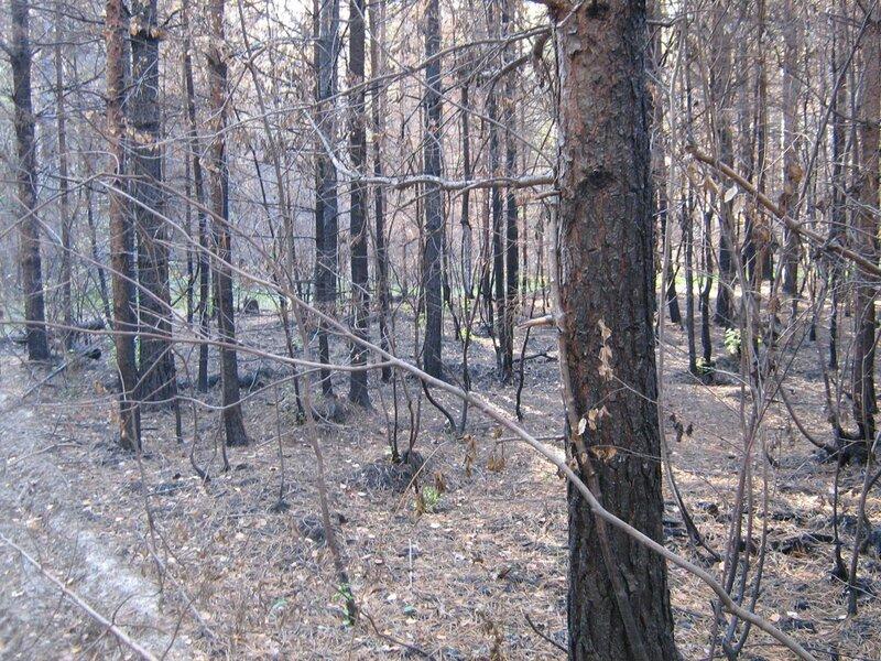 лес после пожара - 3