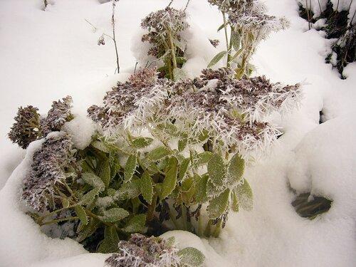 Очиток (очитник) видный / Sedum (hylotelephium) spectabile в декабре