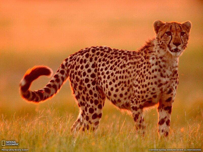 Гепард, Ботсвана