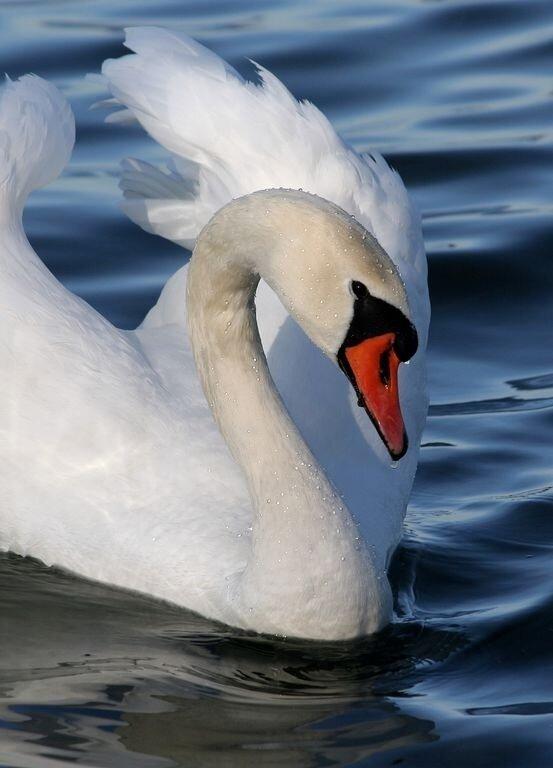Рхема вышивки Лебеди 2: