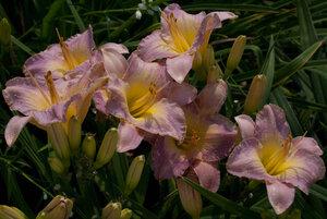 Лилейники в Саду Дракона летом 2011г 0_63787_f7f100a3_M