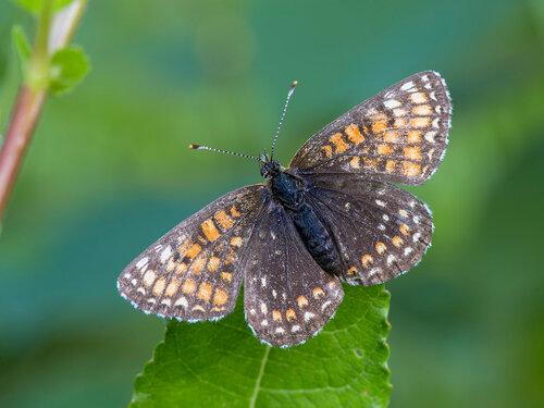 Шашечница черноватая (Melitaea diamina) Автор: Владимир Брюхов