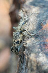Рагий чернопятнистый, или колючий - Rhagium mordax (Cerambycidae: Lepturinae)Альбом:  Мир под ногами /  Жесткокрылые или жуки / Cerambycidae - Усачи