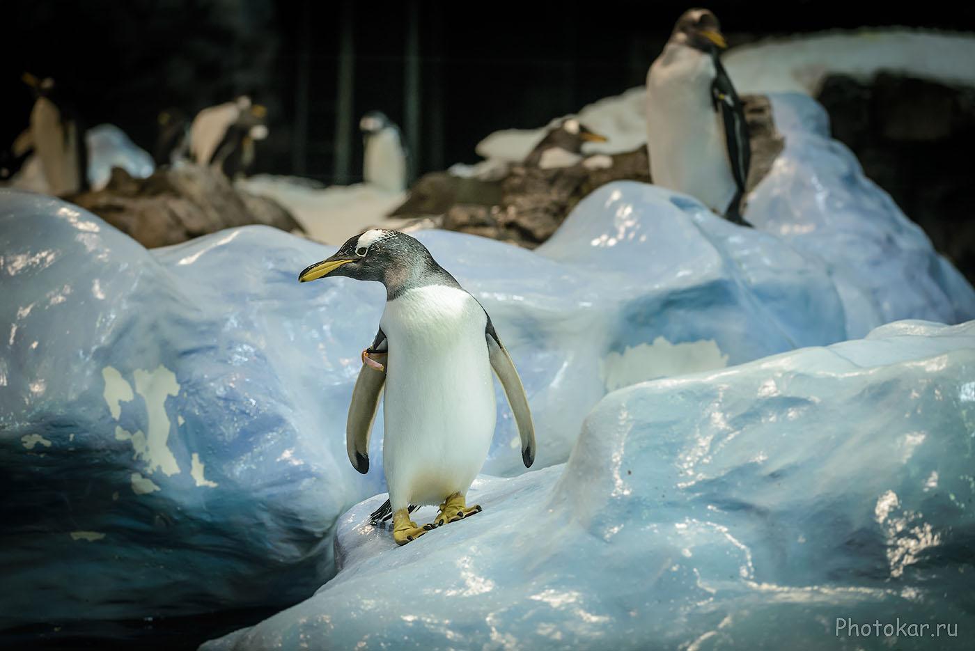 Фото 8. Если вы поедете в Антарктиду снимать пингвинов, покупайте телевик. Как вариант для полного кадра - не очень светосильный, но и не дорогой Nikon 70-200mm f/4G. Снято на фуллфрейм Nikon D610 со следующими параметрами: 1/320, 4.0, 1250, 122.